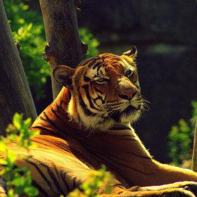 Kawi (Tygr malajský) 2
