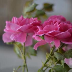 Tři květy růže