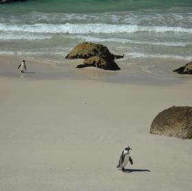 Tučňáci na Boulders Beach
