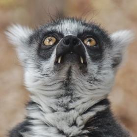 Lemur upír