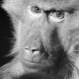 Opičí pohled