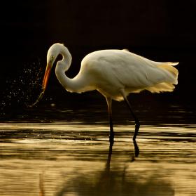 Volavka bílá (Ardea alba)