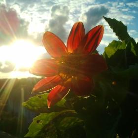 Květina se západem slunce