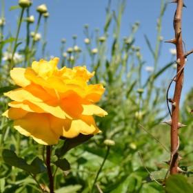 Růže v trní