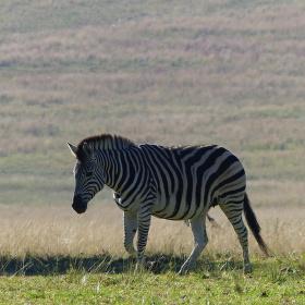 Zebra podruhé