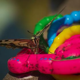 Křičící motýl