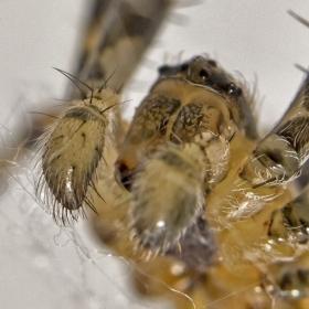 Pavouk křižák