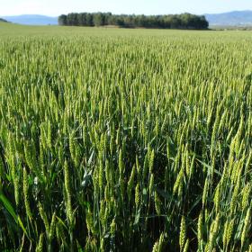 Pšeničná pole
