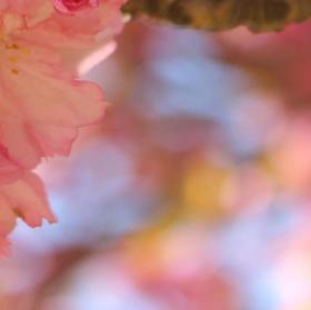 růžové opojení