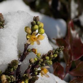 Rozkvétá pod sněhem