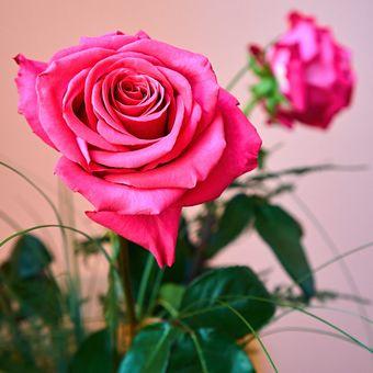 Růža růžová