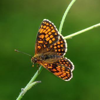 Hnědásek jitrocelový (Melitaea athalia)
