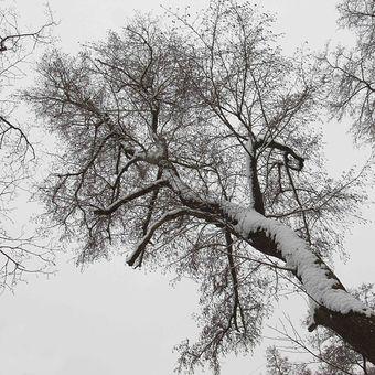 zimní koruna