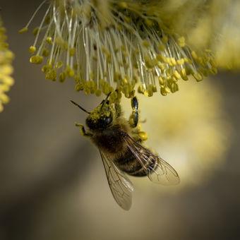Pilná včelka při nedělním odpoledni...