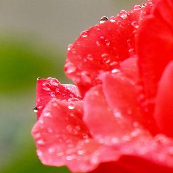 zmoklá růže