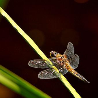 Samička vážky ploské
