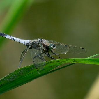 Vážka černořitná