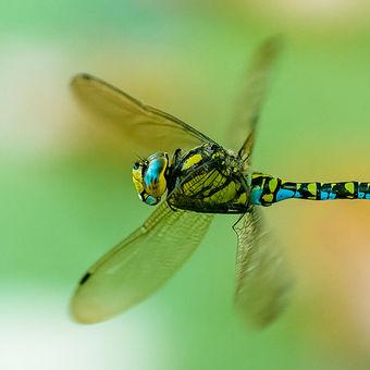 Šídlo modré (Aeshna cyanea)
