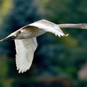 mladá labuť v letu