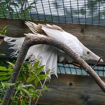 Vrána albínka