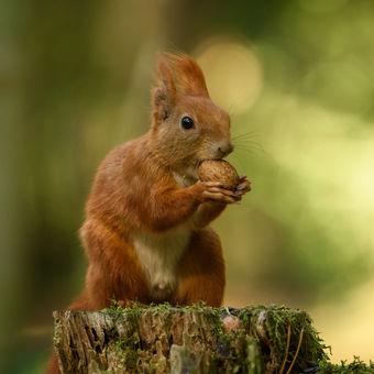 veverčák