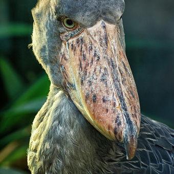 ČLUNOZOBEC AFRICKÝ (Balaeniceps Rex) II