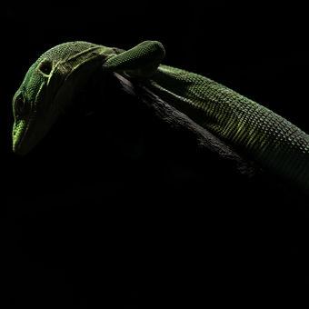 Varan smaragdový