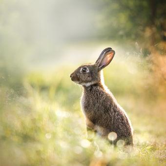 Divoký králík