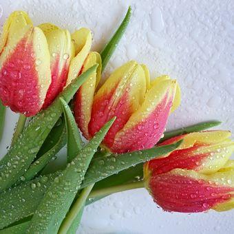 Duše Tulipánů