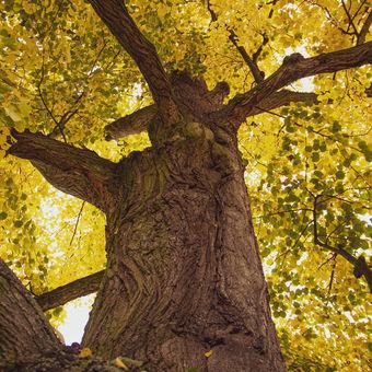 Zlatá podzimní koruna