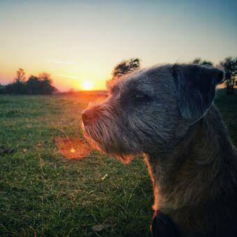 Roxik (border terrier)