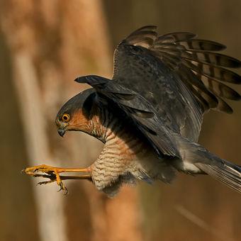 Krahujec na lovu