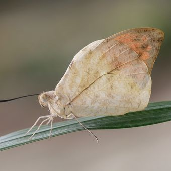 Lepidoptera Linnaeus