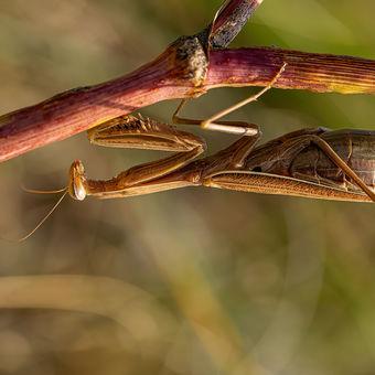 Kudlanka nábožná (Mantis religiosa) je jediný český zástupce řádu kudlanek (Mantodea).