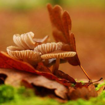 Helmovka zefírová (Mycena zephirus)