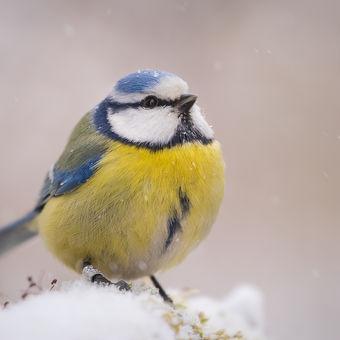 Modřinka v zimě
