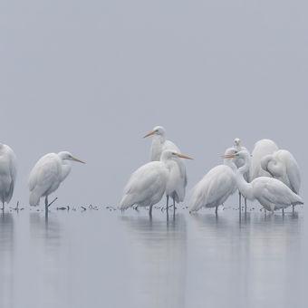 volavky bílé