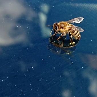včelka odpočívá