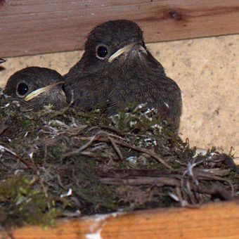 Rehek domáci, hnízdo z mláďaty