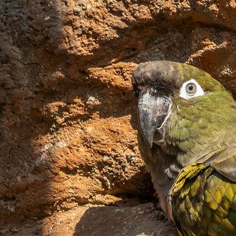 Papoušek patagonský chilský