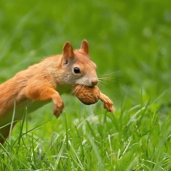 Čas lovu vlašských ořechů ...