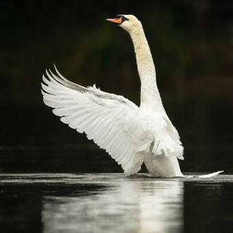 Bílý labuťák
