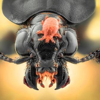 Mrchožrout a roztoč