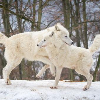 Tanec vlků