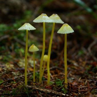 Helmovka slizká (Mycena epipterygia)...
