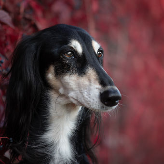 Saluki in red