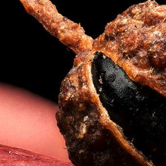 kulička pepře sečuánského