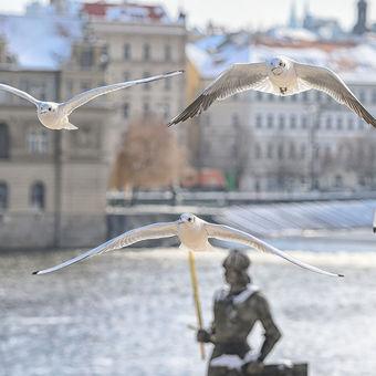 Racci na Vltavě