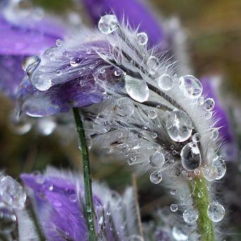 Déšť na koniklacové louce