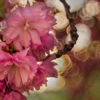Sakura (Domiplan 50/2.8)
